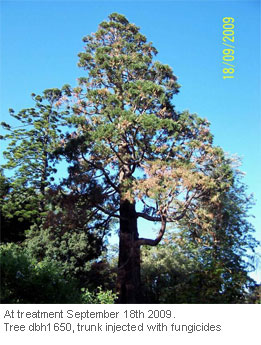 Tree-Injection-Trials-on-Giant-Sequoia_1