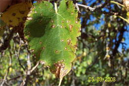 Mulberry-Leaf-Spot_1