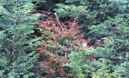 cypress-canker-with-seiridium-treatments