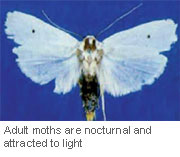 fruit-tree-borer-adult-moth