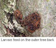 fruit-tree-borer-feed-on-tree-bark