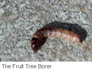 fruit-tree-borer-larvae