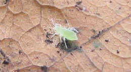 Oak-Aphid-&-Powdery-Mildew_1