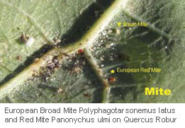 Oak-Aphid-&-Powdery-Mildew_10