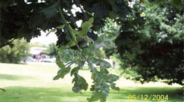 Oak-Aphid-&-Powdery-Mildew_16