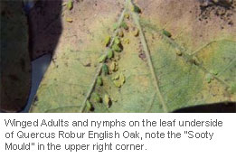 Oak-Aphid-&-Powdery-Mildew_2