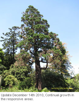 Tree-Injection-Trials-on-Giant-Sequoia_3