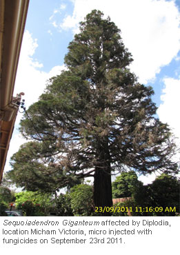 Tree-Injection-Trials-on-Giant-Sequoia_7