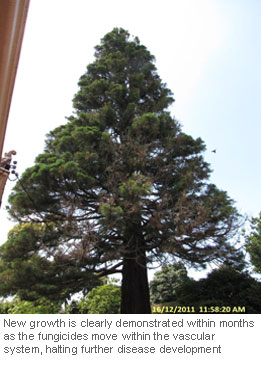 Tree-Injection-Trials-on-Giant-Sequoia_8
