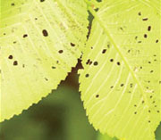 elm-leaf-beatle_summury_4b