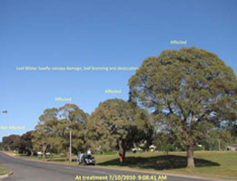 Insect-treatment-for-Eucalypts_13