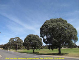 Insect-treatment-for-Eucalypts_14