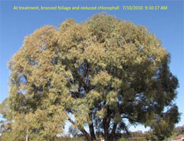 Insect-treatment-for-Eucalypts_15