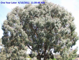 Insect-treatment-for-Eucalypts_16
