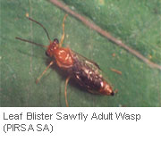 Insect-treatment-for-Eucalypts_19