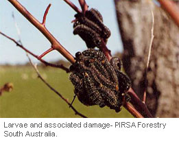Insect-treatment-for-Eucalypts_21