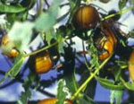 Insect-treatment-for-Eucalypts_42