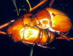 Insect-treatment-for-Eucalypts_43