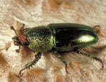 Insect-treatment-for-Eucalypts_44