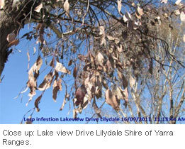 Insect-treatment-for-Eucalypts_6