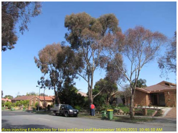 Insect Treatments for Eucalypts
