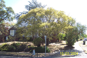 healthy golden elm at mt lilydale college