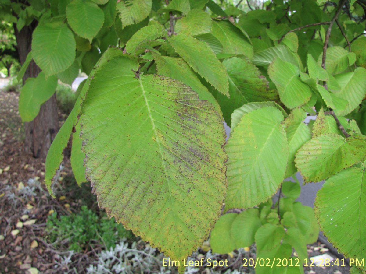 Elm Leaf Spot Alert in NSW