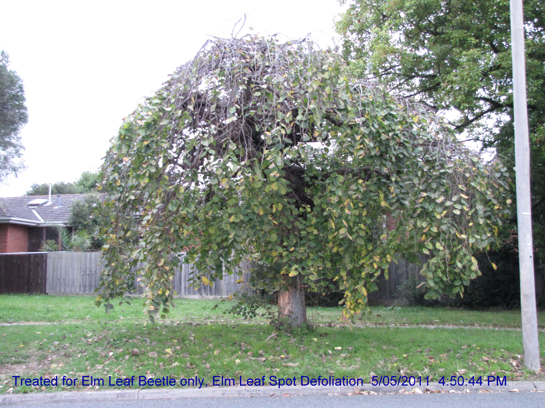 untreated weeping elm defoliated
