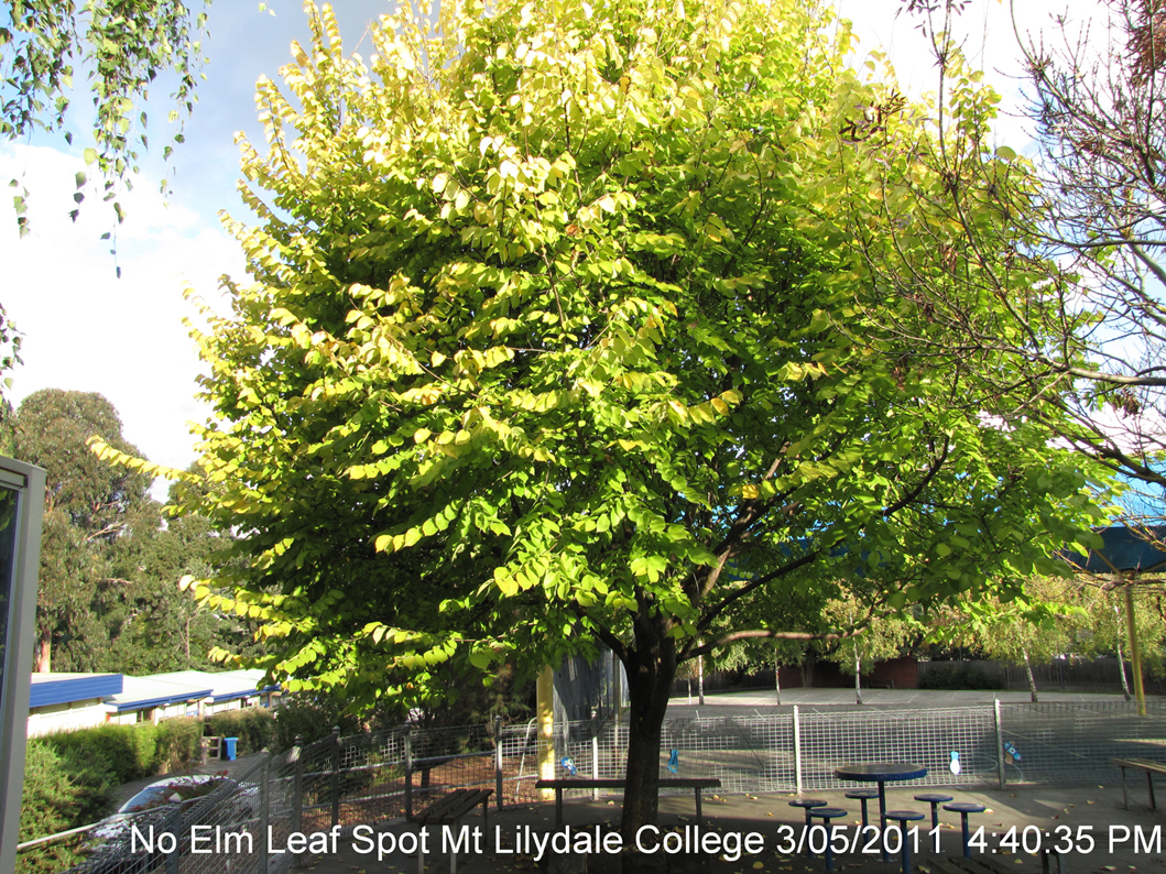 Elm Leaf Spot – Now a Widely Spreading Problem