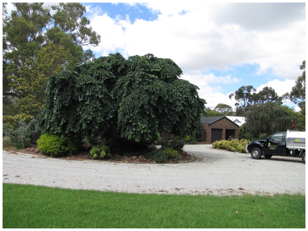 Weeping elm in Moama nsw