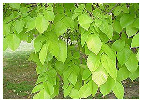 Healthy, vigorous leaves