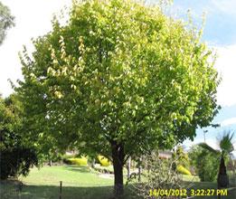 Elm-Leaf-Spot
