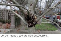 london-plane-trees