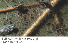 SLB Adult with Nymphs and Frass (DPI NSW)
