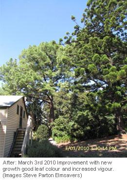 monterey-pine-aphid_3b