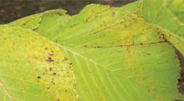 Elm Leaf Spot