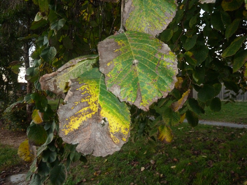 Weeping elm leaf damaged foliage
