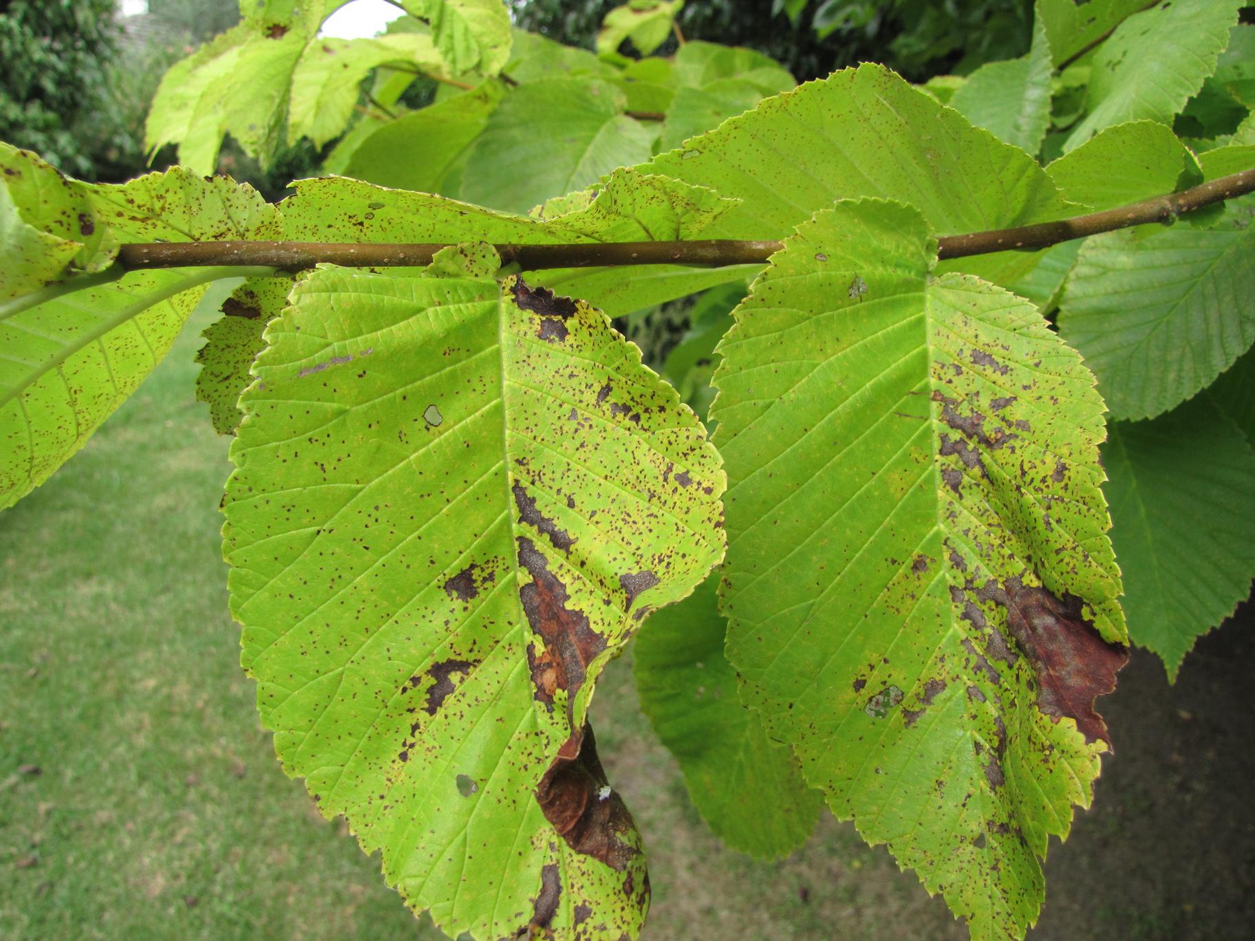 Golden elm leaf topside lesions